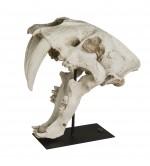 SaberTooth SKULL - Crane de Mammifere - Cabinet de Curiosite